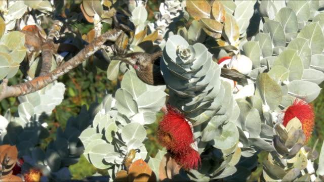 en röd kråsfågel livnär sig på en eukalyptus macrocarpa - eucalyptus leaves bildbanksvideor och videomaterial från bakom kulisserna
