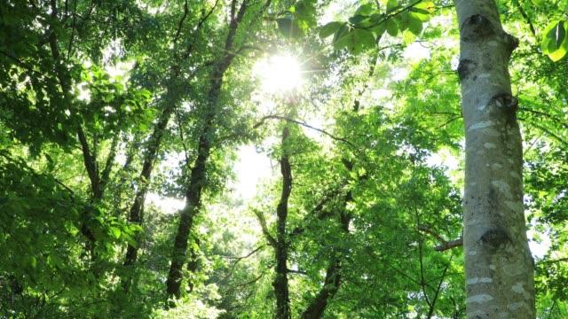 vídeos de stock e filmes b-roll de a refreshing breeze blowing fresh green leaves in japan forest - oscilar