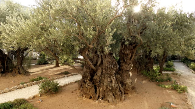 a shot of the sun and an olive tree in the garden of gethsemane, jerusalem a shot towards the sun of an old olive tree in the garden of gethsemane in jerusalem, israel religious text stock videos & royalty-free footage