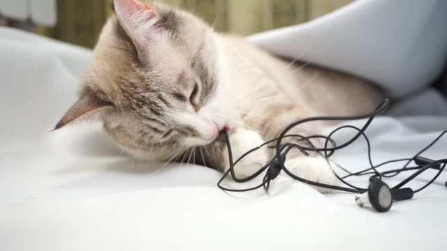 a siamese point lynx cat chewing wires of headphones close up