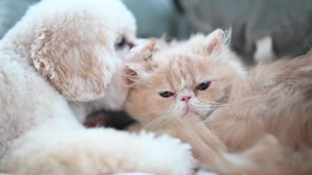 en leksak pudel slickar på en katt på sängen att få vänner medan katten ignorerar irriterande valp - katt inomhus bildbanksvideor och videomaterial från bakom kulisserna
