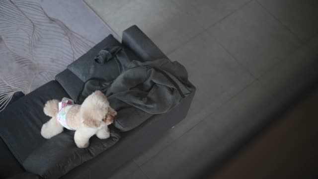 a toy poodle waiting for his owner in living room on sofa