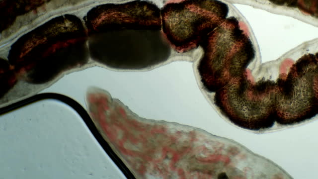 a transparent larva under the microscope, with internal organs, as is an alien organism video