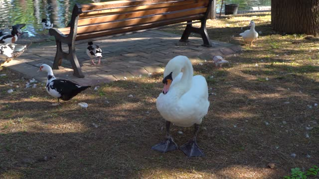 a white swan walks in the park, garden, entertaining people! Beautiful swan posing on camera.