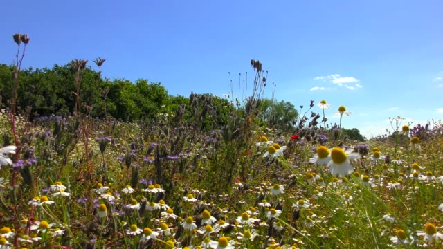a wildflower meadow with chamomile, poppies, cornflowers and phacelia - pianta vascolare video stock e b–roll