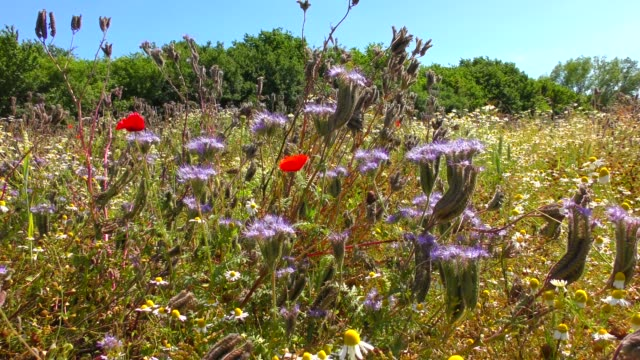 a wildflower meadow with chamomile, poppies, cornflowers and phacelia