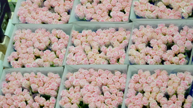 Aalsmeer Netherland April 28 2017: Top view of the fresh roses in the boxes video