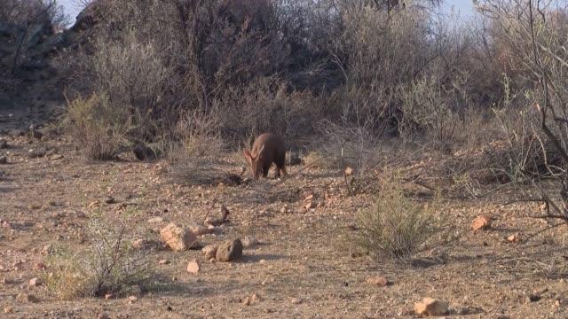 aardvark digging and walking in kalahari, namibia - ameisenbär stock-videos und b-roll-filmmaterial