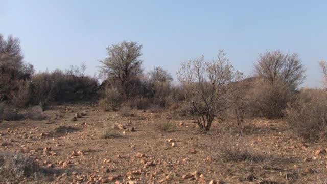 ドライカラハリ、ナミビア、ズームインでアードバークやアントイーターウォーク - 乾燥点の映像素材/bロール