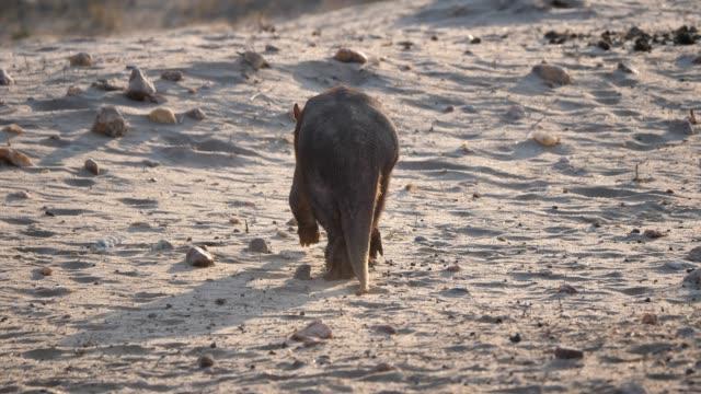 aardvark walking away in namibia - ameisenbär stock-videos und b-roll-filmmaterial
