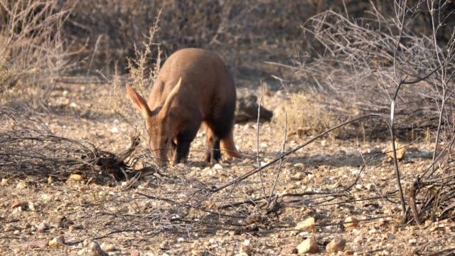 aardvark wandern in der savanne in namibia - ameisenbär stock-videos und b-roll-filmmaterial