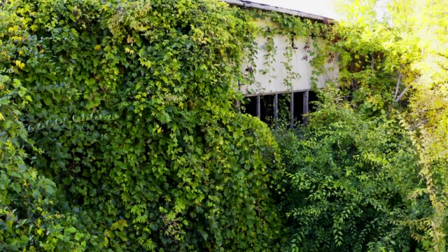 abandoned building overgrown with wild ivy - vite flora video stock e b–roll