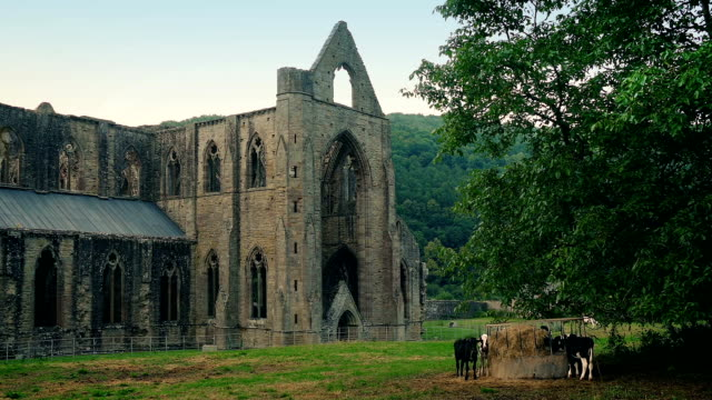 Abbey Ruins With Cows Grazing Nearby video