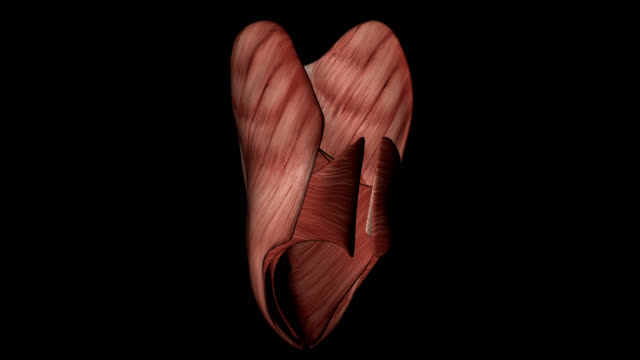Abdominus and Obliquus Muscles of Human Body video