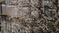 istock Abnormal weather. Snow goes on the Flowering Tree of Apricots in April 679658992