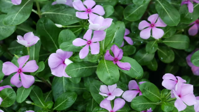 abstract background of flower ,Madagascar periwinkle video