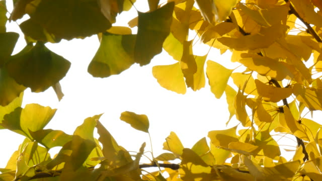 Abstract background of yellow ginko leaves in a wind Abstract background of yellow ginko leaves in a wind ginkgo tree stock videos & royalty-free footage