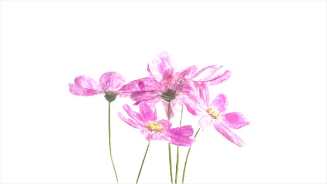 Abstract backgrounds , bouquet of pink cosmos , pencil color drawing style