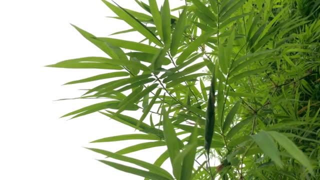 abstract lush foliage on white background ,Bamboo