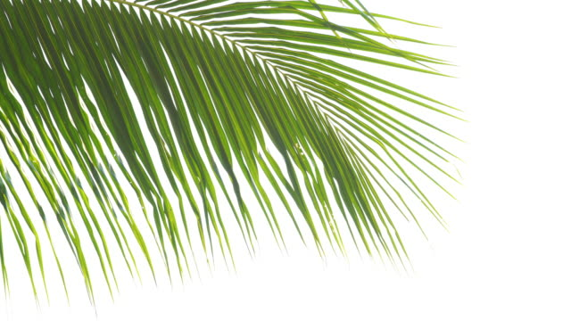 abstract lush foliage on white background abstract lush foliage background  ,nature reserve concept ,panning shot coconut palm tree stock videos & royalty-free footage