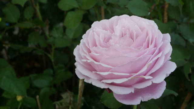 abstract of pink rose - disordine affettivo stagionale video stock e b–roll