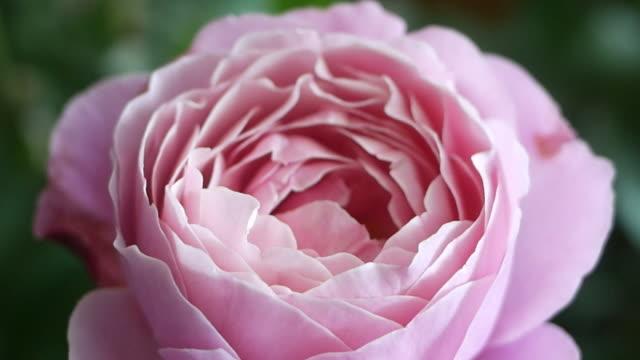 abstract di rosa rosa - disordine affettivo stagionale video stock e b–roll