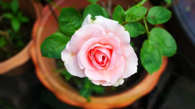 astratto di rosa rosa, ingrandire - disordine affettivo stagionale video stock e b–roll