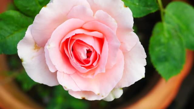 astratto di rosa rosa, zoom indietro - disordine affettivo stagionale video stock e b–roll