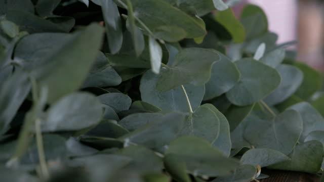 överflöd av färska gröna eukalyptus grenar - eucalyptus leaves bildbanksvideor och videomaterial från bakom kulisserna