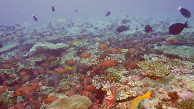 vídeos de stock, filmes e b-roll de abundância de vida em um recife maldiviano - equipamento de esporte aquático