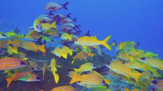 abundance of life on the maldivian reef - луциан стоковые видео и кадры b-roll