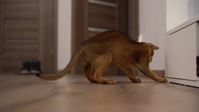 Abyssinian cat playing on the floor in a room Abyssinian cat playing on the floor in a room chasing mouse. shorthair cat stock videos & royalty-free footage