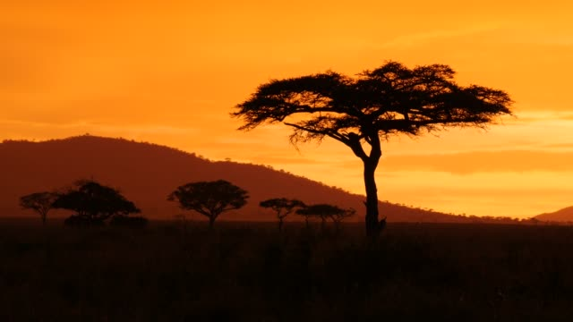 acacia tree in Serengeti National park during golden sunset Filmed in Tanzania National Park in 4K, 25 fps tanzania stock videos & royalty-free footage