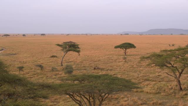 antenne: akazien verbreitet über endlose savanne ebenen bei sonnenaufgang - afrikanische steppe dürre stock-videos und b-roll-filmmaterial