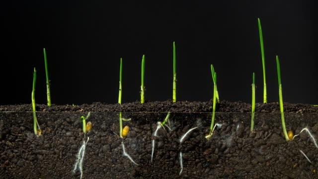 accelererad tillväxt av färskt nytt grönt gräs på den mörka jord grunden. timelapse. 4k. växande vete är en aktivitet som är bäst lämpad för den stora slätterna i kansas och nebraska. - böngrodd bildbanksvideor och videomaterial från bakom kulisserna