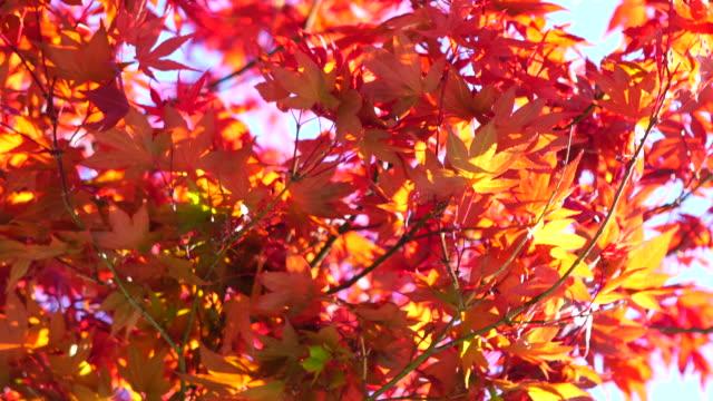 Acer palmatum red leaves 4K video
