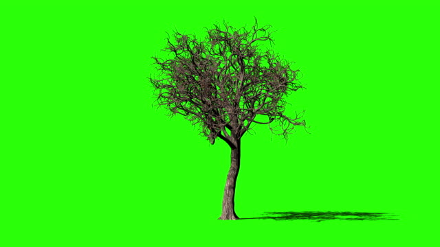 Acer Tree timelapse growing, Green Screen Chromakey