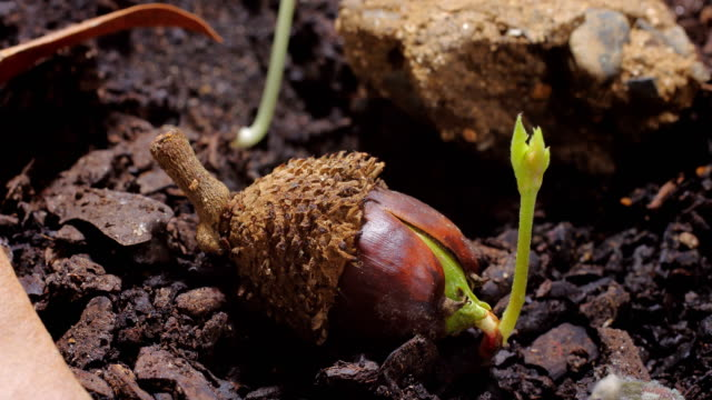 Acorn sprout time lapse video