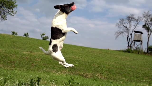 hd супер медленно-mo: акробатическая собака в действии - трюк стоковые видео и кадры b-roll