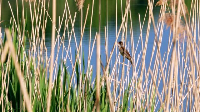 acrocephalus scirpaceus vogel singen auf rohrkolben 4k - schilf stock-videos und b-roll-filmmaterial