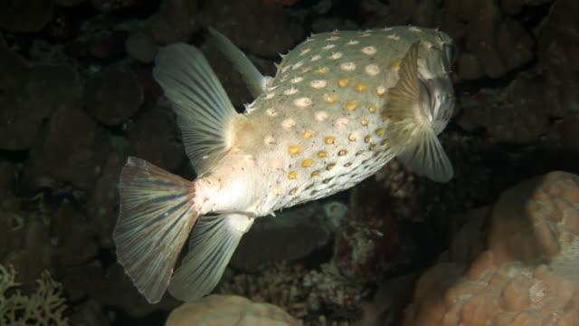Actinopterygii Kogelbusjes vis met wit in koralen op zoek naar voedsel onder water. video