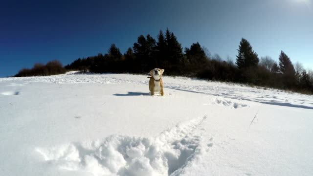 Active beagle dog fooling around and runs by the snowy mountain field video