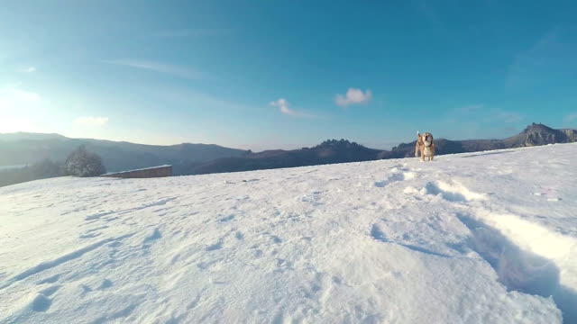 Active beagle dog running slow motion footage during the snowy mountaing walking Active beagle dog running slow motion footage during the snowy mountaing walking hound stock videos & royalty-free footage