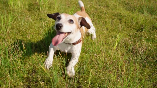 Active cute smiling happy dog Jack Russell terrier having fun crawling on belly on grass enjoying nature summer time outside. - video