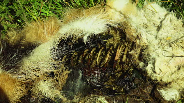 Active decomposition of a dead animal through mass loss resulting voracious feeding of worms and cleaning liquids into the environment. real time Active decomposition of a dead animal through mass loss resulting voracious feeding of worms and cleaning liquids into the environment. real time dead animal stock videos & royalty-free footage
