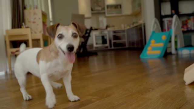 Active dog at home. Adorable small pet Jack Russell terrier playing with blue ball indoors. - video