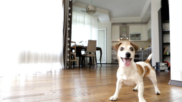 Active Dog is standing in the living room and asking for attention. Wants to play. Video footage - video