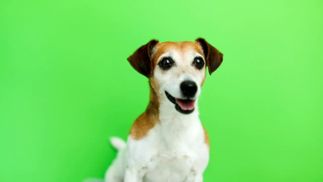 Active energetic dog portrait. comes and goes twice. licking.Video footage. Green chroma key background. Lovely white Jack Russell terrier dog. - video