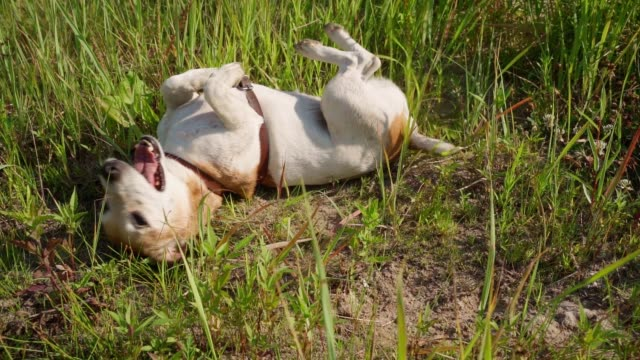 Active Enjoying happy life small cute dog Jack Russell terrier tumbling in grass. - video