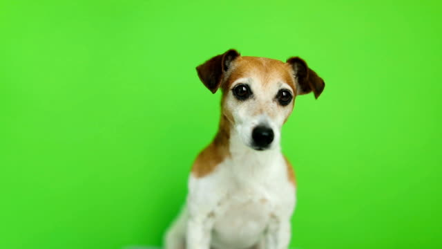 active small dog come to frame and then leave. video footage. green chroma key background. lovely white jack russell terrier dog. - cagnolino video stock e b–roll
